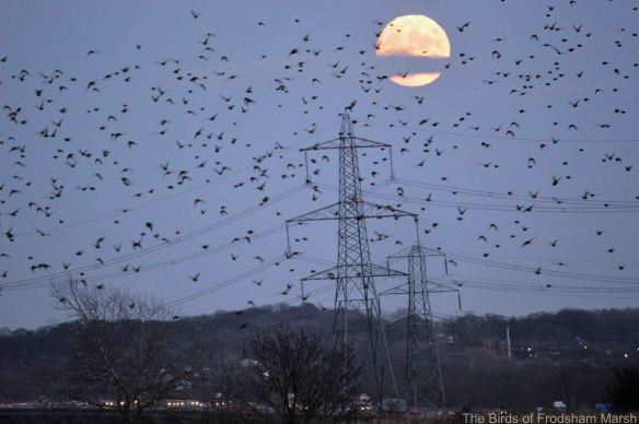 05.12.14. Starling Luna murmuration, No.5 tank, Frodsham Marsh. Bill Morton