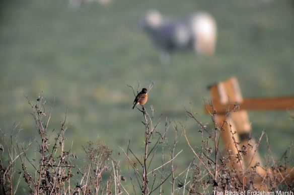 06.12.14. Stonechat (male), No.5 tank, Frodsham Marsh. Bill Morton