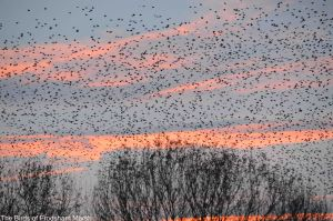 06.12.14. Sunswt and Starlings, No,4 tank, Frodsham Marsh. Bill Morton