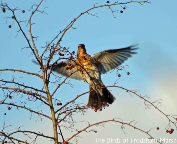 13.12.14. Fieldfare, Brook furlong Lane, Frodsham Marsh. Bill Morton