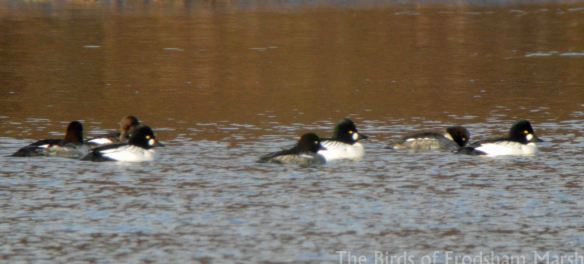13.12.14. Goldeneyes, Weaver Bend, Frodsham Marsh. Bill Morton