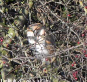 13.12.14. Barn Owl, Moorditch Lane, Frodsham Marsh. Bill Morton