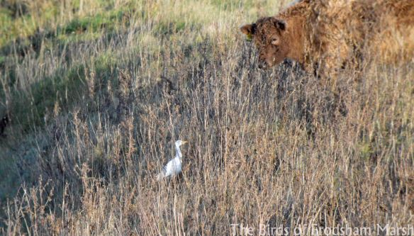 13.12.14. Cattle Egret, Canal Pools, Frodsham Marsh. Bill Morton