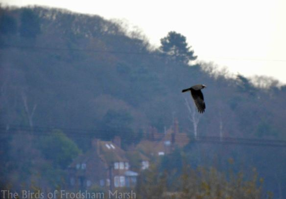 13.12.14. Marsh Harrier, No.4 tank, Frodsham Marsh. Bill Morton