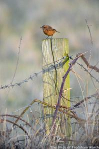 20.12.14. Stonechat (female), No.1 tank, Frodsham Marsh. Bill Morton