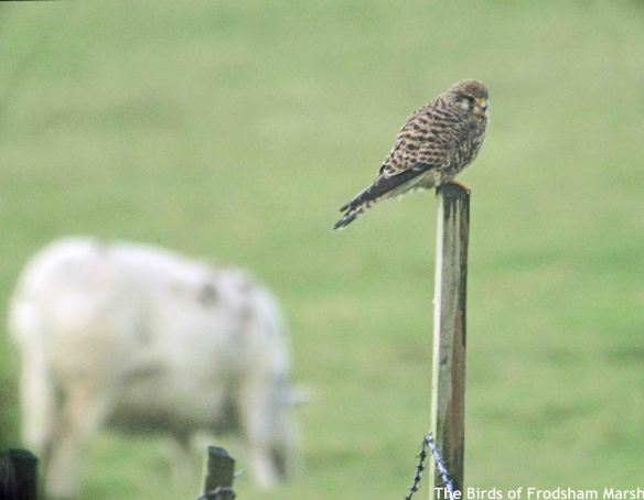 25.12.14. Kestrel, No.5 tank, frodsham Marsh. Bill Morton