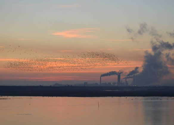 28.12.14. Starling roost, No.6 tank, Frodsham Marsh. Bill Morton