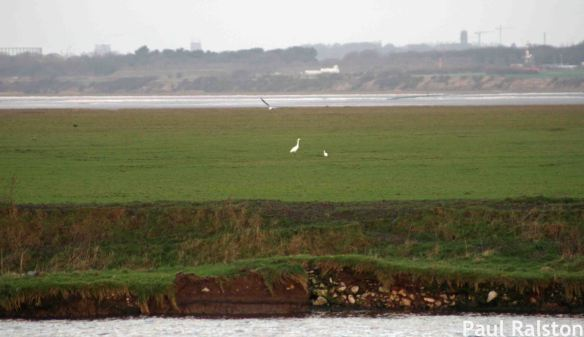 24.12.14. Great White and Little Egret, Frodsham Score, Frodsham Marsh. Paul Ralston