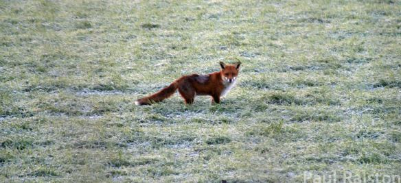29.12.14. Fox, Frodsham Marsh. Paul Ralston
