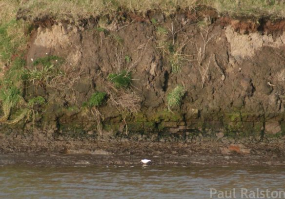 16.12.14. Albino Common Sandpiper, MSC, Frodsham Marsh. Paul Ralston