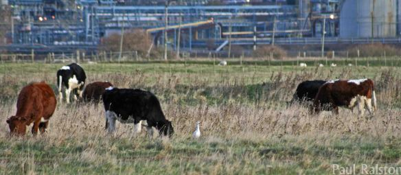 14.12.14. Cattle Egret, Canal Pools, Frodsham Marsh. Paul Ralston