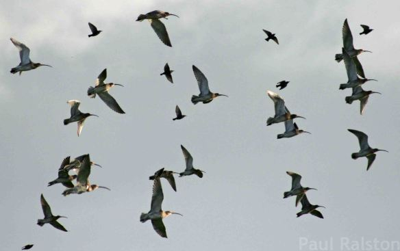 24.12.14. Curlews, Ince Marsh -  Frodsham Marsh. Paul Ralston