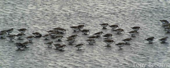 07.12.14. Dunlin, No.6 tank, Frodsham Marsh. Tony Broome