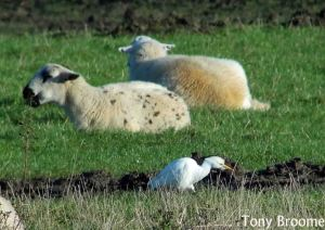 13.12.14. Cattle Egret, Canal Pools, frodsham Marsh. Tony Broome