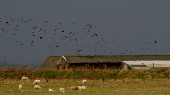 01.01.15. Golden Plover and Lapwings, Frodsham Marsh. Heather Wilde (3)