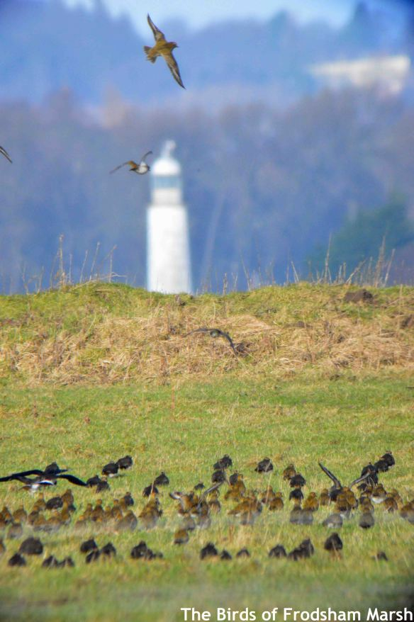 31.01.15. Hale lighthouse and plovers from Frodsham Marsh. Bill Morton