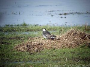 17.01.15. Pied Wagtail, No.3 tank, Frodsham Marsh. Bill Morton