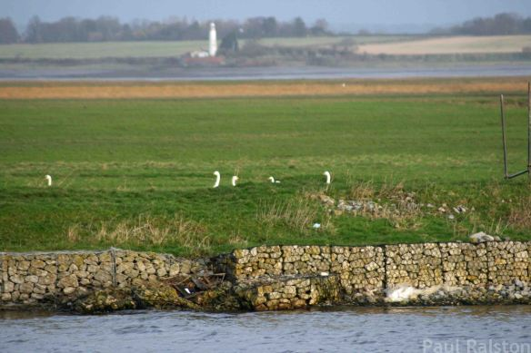 11.01.15. Great White Egret, Mute and Whooper Swans, Frodsham Score, Frodsham Marsh. Paul Ralston