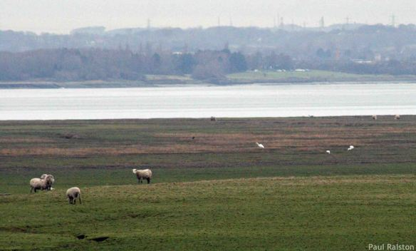 19.01.15. Great Whites and Little Egrets, Frodsham Score, Frodsham Marsh. Paul Ralston