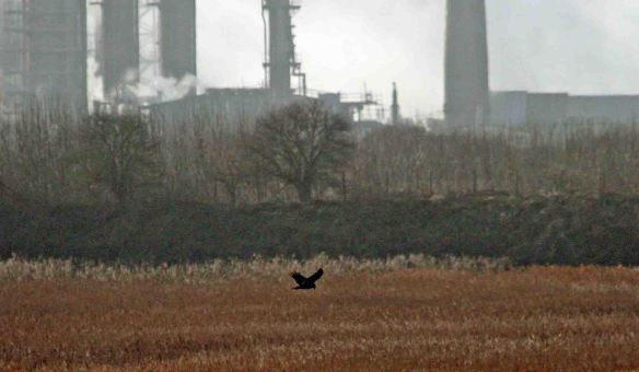24.01.15. Marsh Harrier, No.6 tank, Frodsham Marsh. Heather/Findlay Wilde.