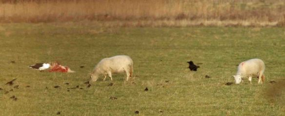 24.01.15. GBB Gull and Raven feeding off sheep carcass, Frodsham Marsh. Heather/Findlay Wilde.