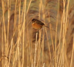 24.01.15. Female Stonechat, Frodsham Marsh. Heather/Findlay Wilde.
