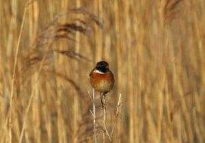 24.01.15. Male Stonechat, Frodsham Marsh. Heather/Findlay Wilde.