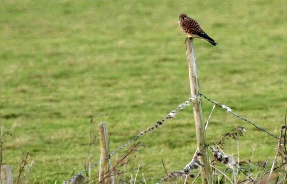 02.01.15. Kestrel, Frodsham Marsh. Heather Wilde.