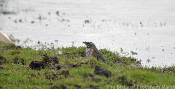 05.02.15. Redwing, Moorditch Lane, Frodsham Marsh. Bill Morton