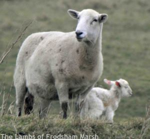 10.02.15. Sheep and lamb, Frodsham Score, Frodsham Marsh. Bill Morton