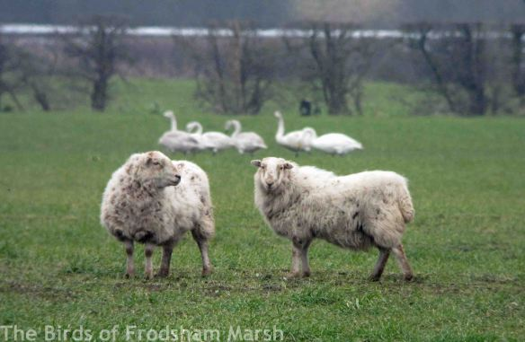 10.02.15. Whooper Swans and Sheep, Ince Marsh. Bill Morton (1)