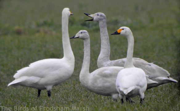 10.02.15. Whooper Swans (juvs) and Bewick's Swan, Ince Marsh. Bill Morton.