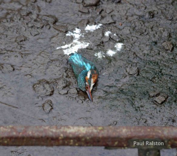 14.02.15. Kingfisher, Lordship Lane, Frodsham Marsh. Paul Ralston (1)