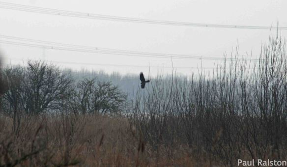 14.02.15. Marsh Harrier, No.4 tank, Frodsham Marsh. Paul Ralston (2)