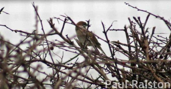 19.02.15. Tree Sparrow, Ince Marsh Marsh. Paul Ralston (3)