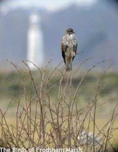 20.02.15. Common Buzzard, No.5 tank, Frodsham Marsh. Bill Morton (4)