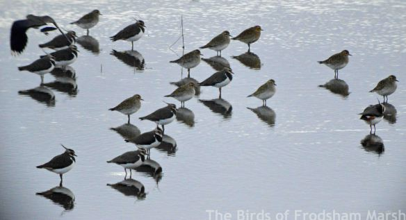 20.02.15. Lapwing and Golden Plover, No.6 tank, Frodsham Marsh. Bill Morton (1)