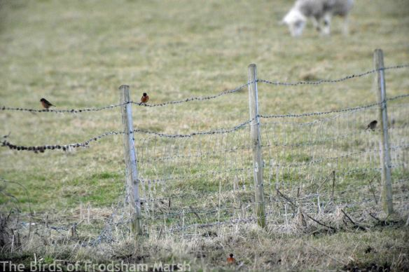 20.02.15. Stonechats, No.5 tank, Frodsham Marsh. Bill Morton (2)