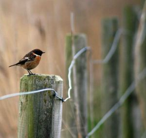 22.02.15. Male Stonechat, Frodsham Marsh. Paul Ralston