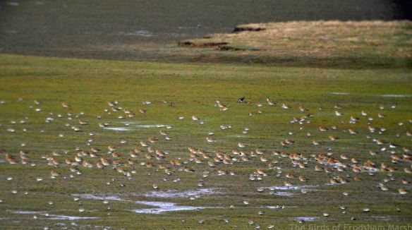24.02.15. Golden Plover and Dunlin, Frodsham Score. Frodsham Marsh. Bill Morton