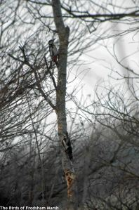 24.02.15.Great Spotted Woodpecker, Spring Farm. Frodsham Marsh. Bill Morton (2)