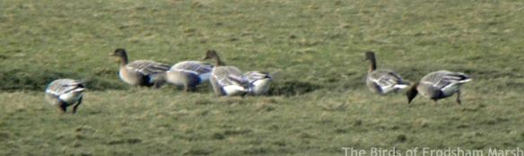 24.02.15. Pink-footed Geese, Frodsham Score. Frodsham Marsh. Bill Morton (1)