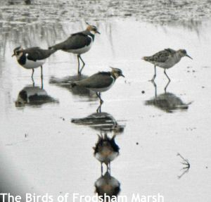14.02.15. Ruff and Lapwing, No.6 tank, Frodsham Marsh. Bill Morton