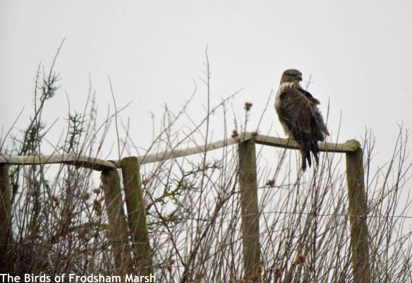 11.02.15. Common Buzzard, No.5 tank, Frodsham Marsh. Bill Morton