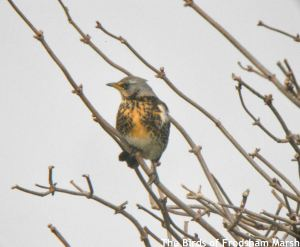 14.02.15. Fieldfare, No.4 tank, Frodsham Marsh. Bill Morton