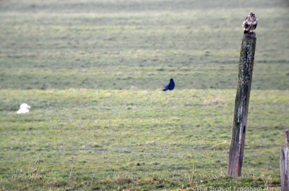 11.02.15. Common Buzzard, Frodsham Score, Frodsham Marsh. Bill Morton