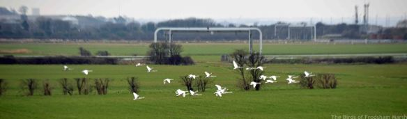 14.02.15. Whooper Swans in flight over Ince Marsh, k, Frodsham Marsh. Bill Morton
