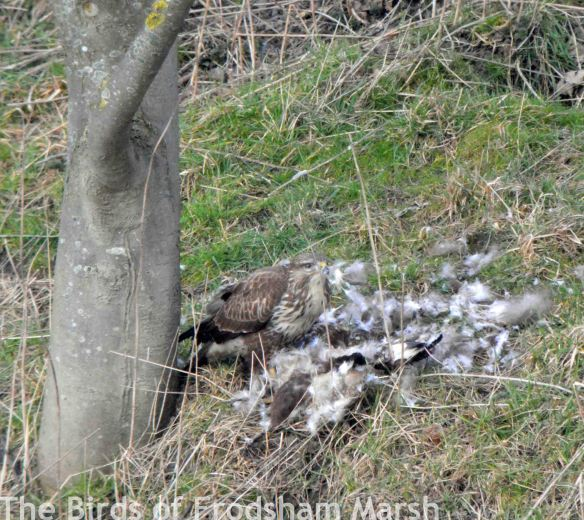 14.02.15. Common Buzzard eating Common Buzzard, No.5 tank, Frodsham Marsh. Bill Morton