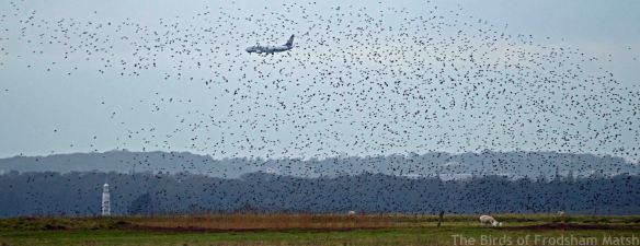 16.02.15. Starlings and Ryanair, No.3 tank, Frodsham Marsh. Bill Morton