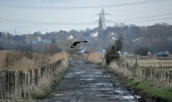 16.02.15. Common Buzzard, lordship Lane, Frodsham Marsh. Bill Morton